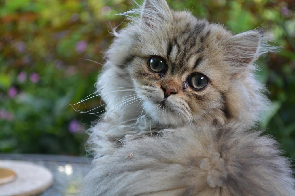 ペルシャ猫の特徴と性格は?飼い方のコツを教えて!