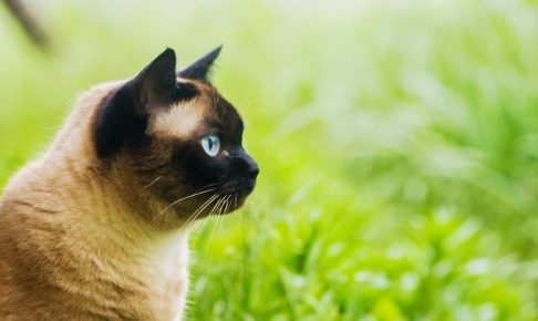 シャム猫の特徴と性格は?飼い方のコツを教えて!
