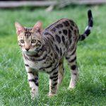 ベンガル猫の特徴と性格は?飼い方のコツを教えて!