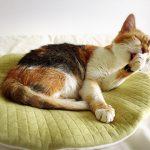 猫を飼うにはオスとメスどちらがいいの?違いや特徴を解説