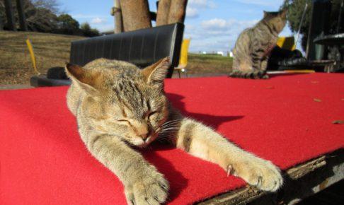 はじめて猫を飼う人におすすめ猫種ランキングベスト5