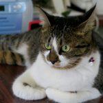 猫がキャットフードを食べ過ぎてしまう時の原因と対策