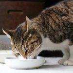 猫がキャットフードを食べてくれない。その原因と対策