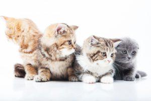 猫好きな方や猫を飼いたい方必見!猫種の人気ランキング!