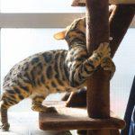 ベンガル猫の飼い方!しつけの方法や必要なものとは??