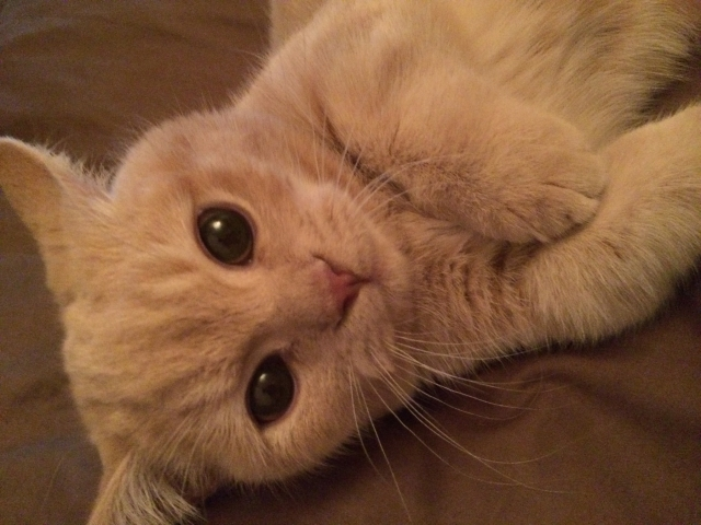 白いマンチカンがいるって本当?白猫マンチカンのもつ特徴とは?
