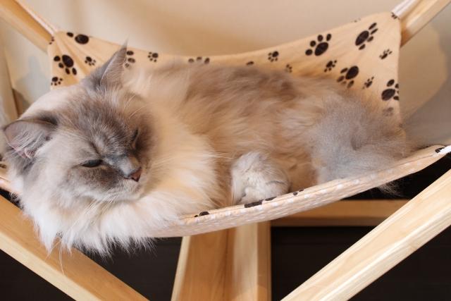 飼い猫のマンチカンがでぶ?肥満かも…?そんな飼い主様に肥満の原因と対策をご紹介!