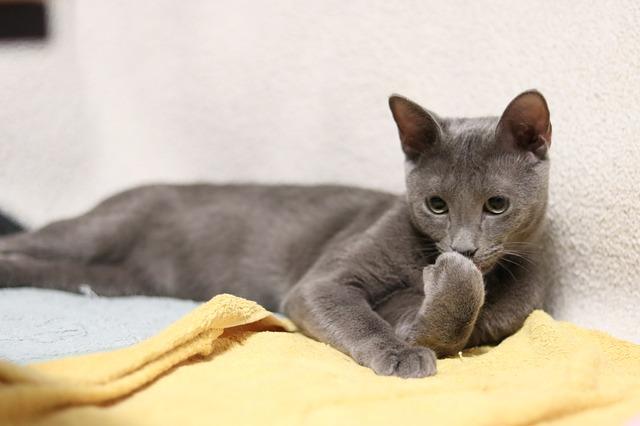 ロシアンブルーに似てる猫の種類は?