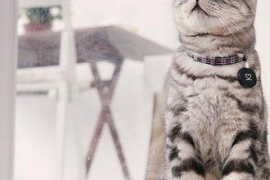 アメリカンショートヘアの子猫の里親になる方法、注意点とは?