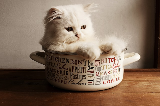 チンチラ(ペルシャ猫)と犬の相性は?一緒に飼う時の注意点とは?