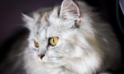 チンチラ(ペルシャ猫)の名前ランキング!おすすめの付け方は?
