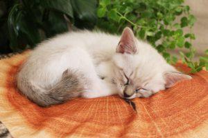 チンチラ(ペルシャ猫)毎月の費用は?去勢、病気、手術はいくら?