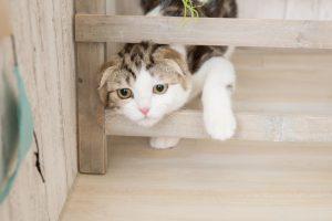 スコティッシュフォールドの子猫と成猫の大きさとは?体重管理法は?