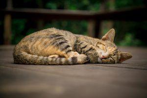 アビシニアンのミックス猫の里親になるには?性格も解説!