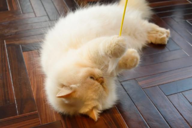 チンチラ(ペルシャ猫)の下痢の原因、対策とは?