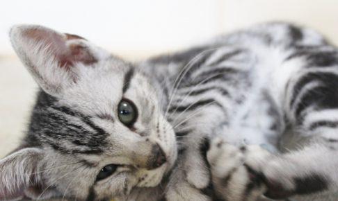 アメリカンショートヘアの子猫をブリーダーから譲り受けるには?
