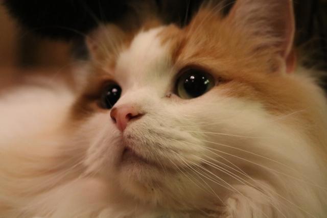 メインクーンの毛色や目の色は何種類あるの?珍しいカラーとは?
