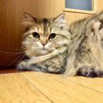 チンチラ(ペルシャ猫)のくしゃみの原因、対策は?