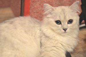 チンチラ(ペルシャ猫)がかかりやすい病気とは?