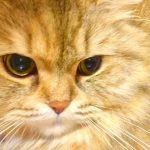 チンチラ(ペルシャ猫)にお風呂、シャンプーは必要?