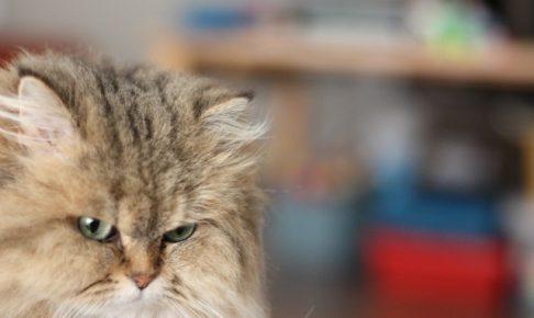 チンチラ(ペルシャ猫)の適温とは?夏と冬のエアコンの設定温度は?