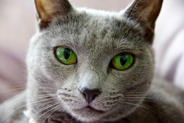 ロシアンブルーの目の色とは?いつ変化する?