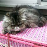 チンチラ(ペルシャ猫)の体重管理の方法とは?