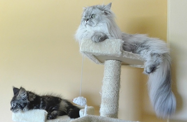 チンチラ(ペルシャ猫)に最適なブラッシングとは?