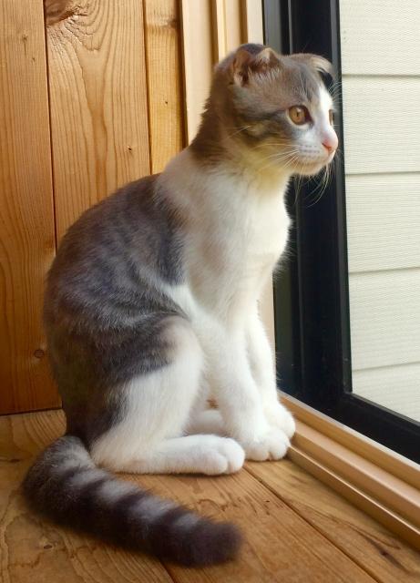 スコティッシュフォールドの子猫を飼う前に知っておくべきこととは?