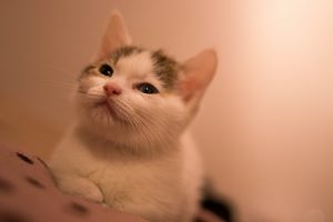 マンチカンの子猫の育て方、ブリーダーについて知っておくべき事は?