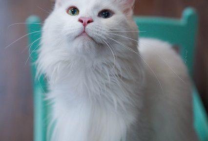 白いメインクーンは希少?オッドアイや子猫の価格はどれくらい?