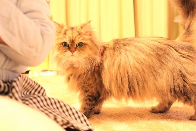 チンチラ(ペルシャ猫)の毛色の種類とは?人気カラーはシルバー、ゴールデン?