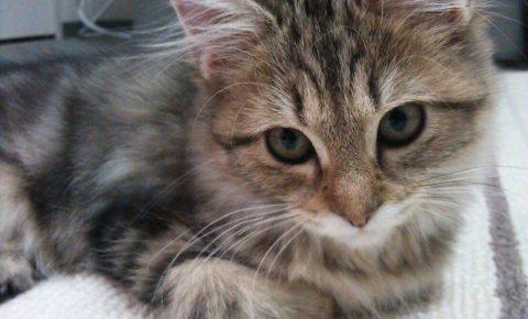 メインクーンの子猫を激安で入手する方法とは?信頼できる?