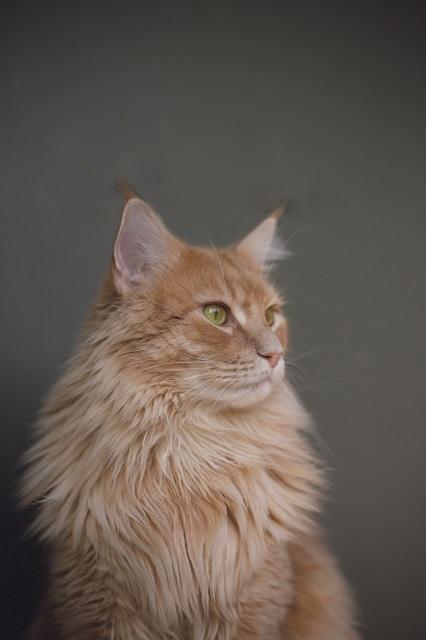 家猫の中では大型種に分類されるメインクーンは他の猫よりパワーがあり、運動能力も優れています。狭い家の中で飼育するとストレスが溜まり、問題行動を起こしかねません。そこでおすすめの遊び方と、大型猫に適したキャットタワーをご紹介します。