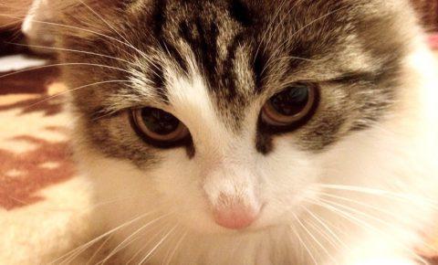 メインクーンの子猫の大きさや性格は?しつけ方は?どう入手するの?