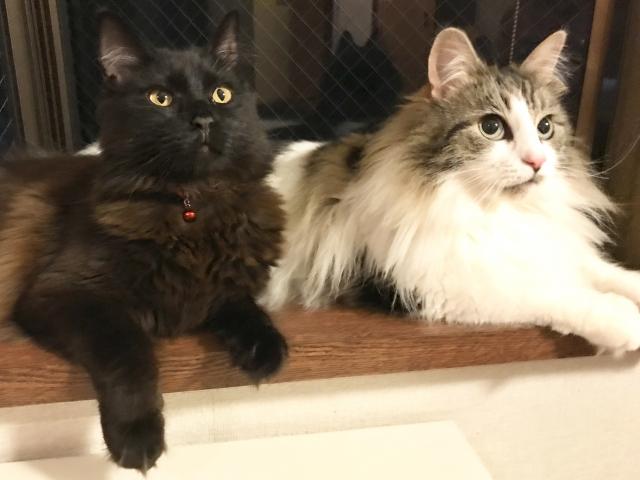 黒猫のメインクーンを販売しているおすすめのブリーダーをご紹介!