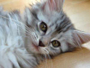 メインクーンってどんな猫?