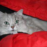 チンチラ(ペルシャ猫)の子猫を買う方法は?ショップ?ブリーダー?
